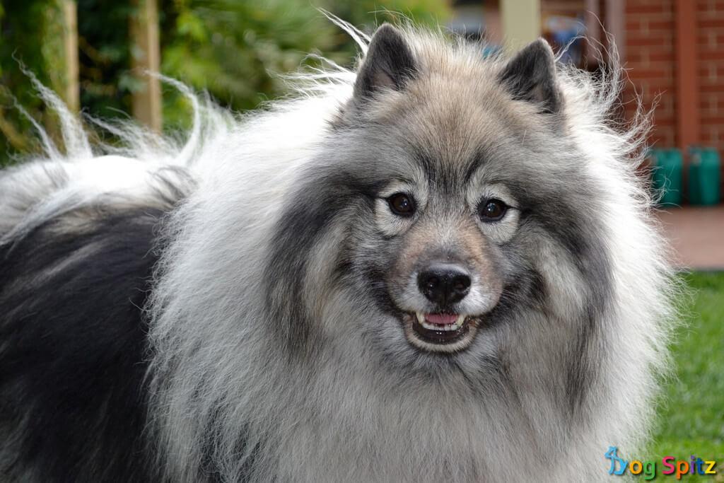 wolfspitz, keeshond