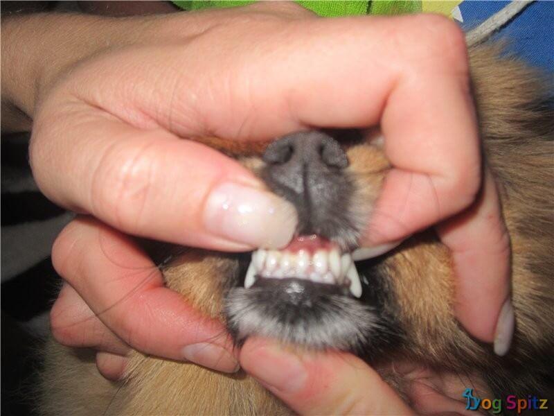 зубы шпица
