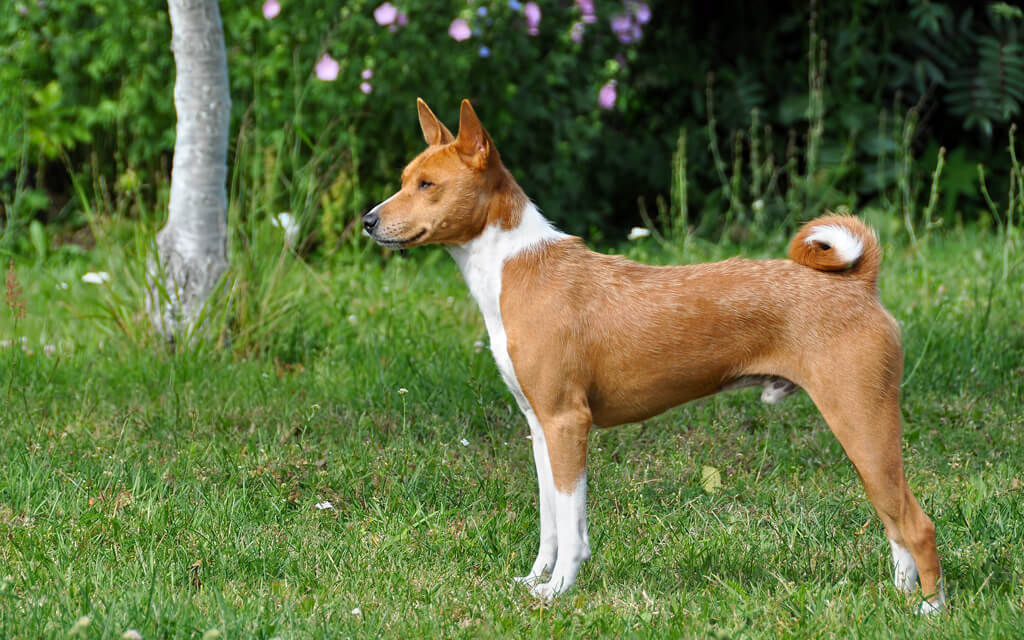 нелающая собака