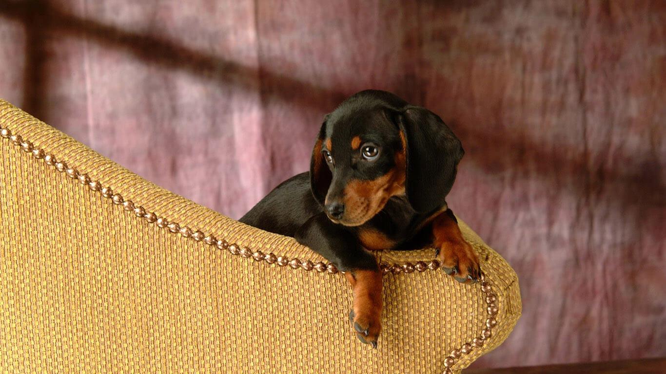 Описание собаки таксы: общие требования к внешности