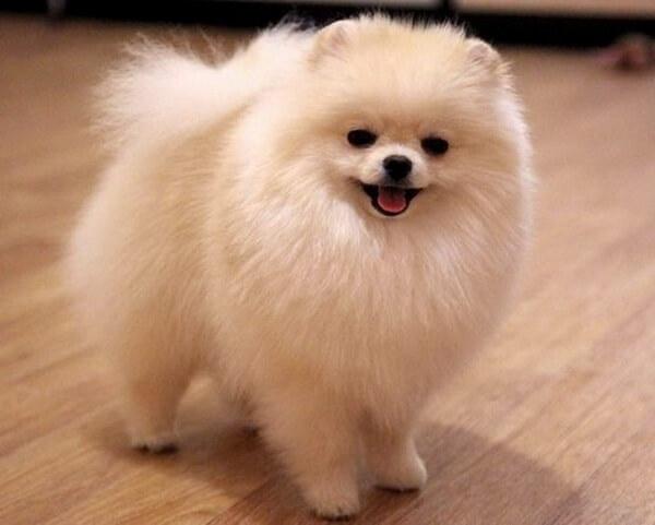 Как назвать собаку-шпиц девочку?
